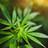 Enjeux cannabis : colloque sur les impacts de la légalisation du cannabis pour les organisations
